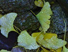 Gingkoblätter und silberne Tropfen, Foto: S. Hopp