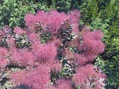 Perukowiec podolski to roślinny heros leczenia bez cienia wątpienia! Pergola, Herbs, Health, Plants, Gardening, Impreza, Design, Magic, Film
