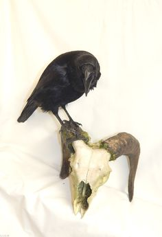 CARRION CROW FIXED TO REAL RAMS SKULL