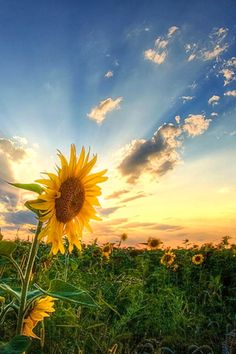 Sunflower sunset wallpapers for galaxy Happy Flowers, Love Flowers, Wild Flowers, Beautiful Flowers, Beautiful Places, Sun Flowers, Beautiful Sunset, Spring Pictures, Nature Pictures
