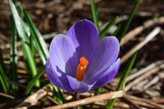 Krookus | Vesan viherpiperryskuvat – puutarha kukkii