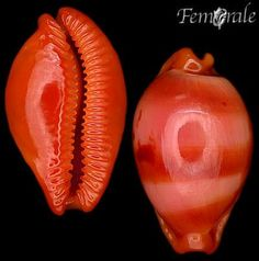 Paulo Kiyoshi  Mollusks of Brazil and around the world - Photo Archives http://eol.org/collections/104052?page=1