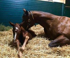 The American Pharoah - Kindle colt shortly after birth.  Photo credit: Darby Dan Farm