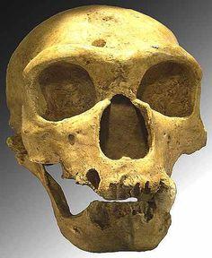 Skull of homo sapiens neanderthalensis