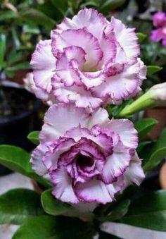 Exotic Plants, Exotic Flowers, Amazing Flowers, Beautiful Roses, Purple Flowers, Beautiful Flowers, Purple Rose, Unique Plants, Colorful Roses