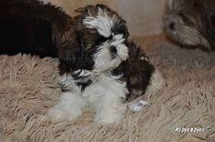 Предлагаем щенков породы ши - тцу от титулованных родителей. Ши - тцу…