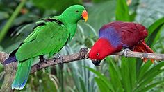 The Eclectus Parrot (Eclectus roratus) is a parrot native to the Solomon Islands, Sumba, New Guinea and nearby islands, northeastern Australia and the Maluku Islands (Moluccas). Papua Nova Guiné, Maluku Islands, Talking Parrots, Fauna Marina, Singapore Zoo, Australian Birds, All Birds, Green Birds, Cockatiel