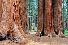 ТОП-10 самых высоких деревьев в мире