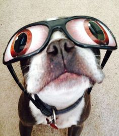 O - M - G too cUte :0) #pets  { One of my followers adorable #bostonterrier } Click the pic to leave him a comment & to check out his gallery