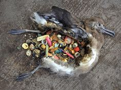 The remains of an albatross chick lie on Midway Atoll, a tiny stretch of sand that is one of the world's most remote marine sanctuaries. Nesting chicks fill their bellies with plastic as their parents collect and feed them bits that look to them like food. As a result, tens of thousands of albatross chicks die from starvation, choking, internal bleeding, and poisoning each year.