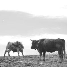 #cow #bull #vacche #toro #Ilovemymountains  #ilWyomingmespicciacasa #nikontop_ #nikonphotography #nikon_photography_italia #nikon #blackandwhite #bnw #bnw_demand #bnw_lombardia #Bnw_addicted #nikonworld_ #nikonitalia #nikon #picoftheday #youpic #viewbugfeature #one__shot__ #bnwsouls #igblackandwhite #igpowerclubbw #ig_contrast_bw
