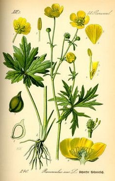 Ranunculus acris - Wikispecies commonly known as buttercup.....means ingratitude
