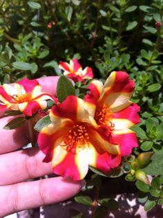 My Portulaca : at Nakorn Nayok Province, Thailand Portulaca Flowers, Portulaca Grandiflora, Planting Flowers, Strange Flowers, Garden Trees, Perennials, Cactus, Exotic, Violets
