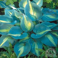 Hosta 'Touch of Class'  Hosta USDA Zone: 2-9  This low specimen selection has very thick, pointy blue-green leaves with a central streak of pale yellow. Pale lavender flowers appear in July. Excellent slug resistance. A tetraploid sport of 'June' created by Hans Hansen of Shady Oaks Nur