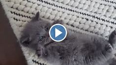 Dad Was Filming His Tiny Kitten On The Floor. But Keep An Eye On His Paws—You'll Be Left SMILING! Leo the British Shorthair may just be the cutest little kitten...