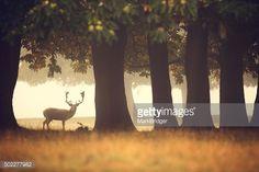 Stock Photo : Lone buck