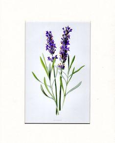 Antique+Botanical+Print+Lavender+Antique+by+AntiquePrintGallery
