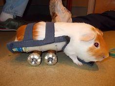 Guinea pig wheelchair. Go, piggy, go!