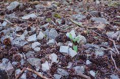 Paklenica pine cones