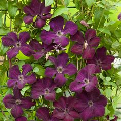 Clematis viticella Royal Velours - Vine Bower - Dobbies Garden Centres