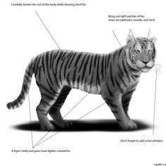 Tiger drawings step 4: there are many ways of doing light and shadows. Try using the blending properties set on 'screen,' 'highlight,' or 'dodge' to bring out the values. The same can be applied for shadows in that you can set the blending 'multiply,' 'darken,' or 'burn' to get the shadows.