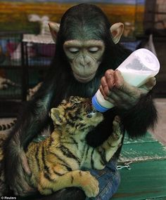 Baby Chimp Feeds Baby Tiger - Home - Staple News