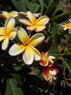 Kauai Flowers.  Beautiful plumerias from my backyard.  www.kauai-artist.net
