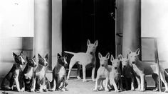 Coloured and white bull terriers in 1938.