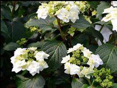 "Hydrangea macrophylla ""Dancing Snow' Wedding Gown"