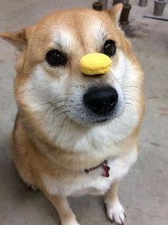【柴犬?】「いとしのムーコ」の可愛いお写真集【秋田犬?】 - NAVER まとめ