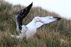 Foto albatroz-gigante (Diomedea exulans) por Fábio Olmos | Wiki Aves -