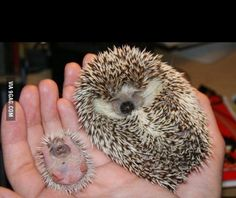 Mama hedgehog with her new born baby