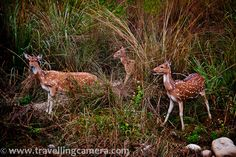 A Group of Spotted Deers @ Jim Corbett National Tiger Reserve, Uttrakhand, India