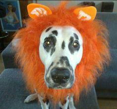 Maxi the dutch lion-matian