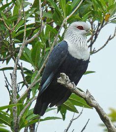 Birds Comoro Blue Pigeon, Comoros