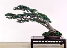 This is an example of trees that battle to gain back control regardless of tough weather. Bonsai Pruning, Japanese Bonsai Tree, Above The Rim, Pine Bonsai, Bonsai Tree Types, Waterfall Design, Bonsai Styles, How To Grow Taller, Deciduous Trees