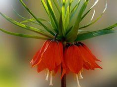 Flowers-Imperial-Crown-