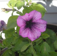 Petunia, eenvoudig maar altijd mooi en een lange bloeier in de zomer. Nog makkelijk zelf te zaaien ook.