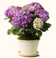 DIY :: Potted Plant Centerpiece - Stylish Spoon - Use pretty potted flowers for a centerpiece – either one large pot or several smaller pots with d - Indoor Flowering Plants, Potted Plants, Hydrangea Potted, Potted Flowers, Diy Flowers, Potted Plant Centerpieces, Centerpiece Ideas, Flower Centerpieces, Ikea Plants