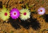 Cephalophyllum tricolorum flowers (Mesembs) pop up everywhere in the Karoo in early Spring. Susan Wittig Albert, Pictures Of Succulents, Identify Plant, Plant Identification, Planting Succulents, Succulent Plants, Cacti, Biomes, Tiny Flowers