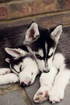 Husky Hugs