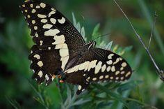 #butterflies #butterfly #nature #beautiful #amazing #bellissime #farfalla #farfalle #flowers #flower #fiori #natura #fiore #incanto #meravigliedellanatura #meraviglie #light #luce #black #nero #green #verde #white #bianco #orange #arancio #dot #pois