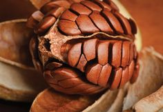 Mahogany seed pod -  James Beriau