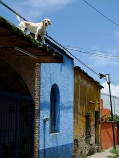 dog on a roof in Mexico