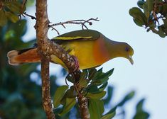 Orange-breasted Green Pigeon (Treron bicinctus )-Yala National Park, Sri Lanka http://www.naturescanner.nl/azie/sri-lanka/activiteiten/vogels-in-sri-lanka/37