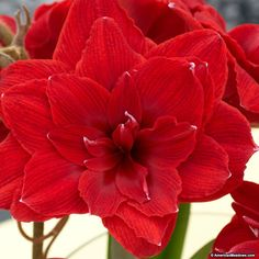 Our jumbo-sized Cherry Nymph Amaryllis bulbs produce at least two stalks with double rose-red flowers. Bulb Flowers, Red Flowers, Flower Pots, Red Roses, Amaryllis Bulbs, Amarillis, Christmas Plants, Lily Bloom, Growing Roses