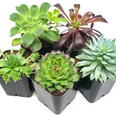 Succulent Plants Pack), Fully Rooted in Planter Pots with Soil - Real Live Potted Succulents / Unique Indoor Cactus Decor by Plants for Pets : Garden & Outdoor Succulent Pots, Cacti And Succulents, Planting Succulents, Planting Flowers, Planter Pots, Succulent Gardening, Propagate Succulents, Succulent Care, Cactus Plants