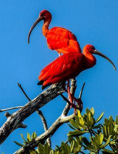 La bella Corocora de los llanos venezolanos. Aves de Venezuela