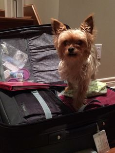 """Morkie Bailey : """"Make no mistake, this time you're taking me!"""""""