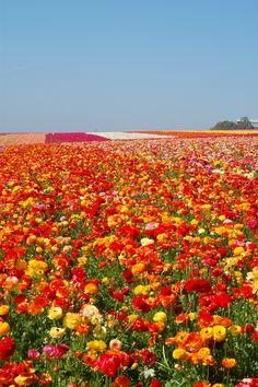 Carlsbad Flower Fields, California